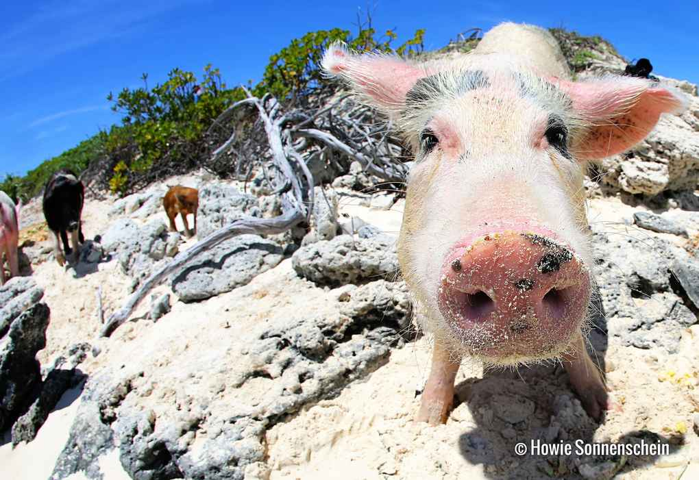 When Pigs Swim Exuma