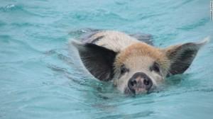 160919111140-snorkeling-bahamas-pig-exlarge-169